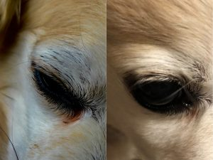 Before and after image of dog after using PawPurity Tear Stain Remover Wipes for Dogs shows the stains are gone.