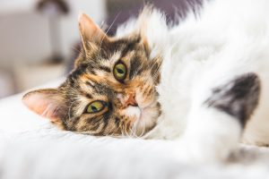 pretty cat that uses PawPurity Tear Stain Remover Wipes to get rid of cat tear stains