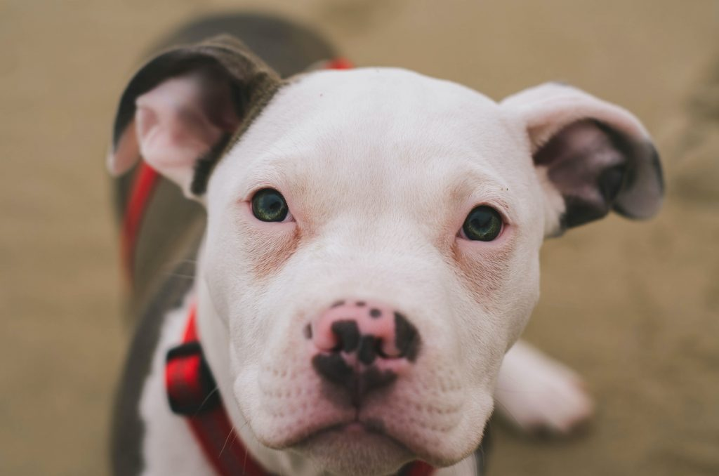 Image of Pit Bull on PawPurity website in article about natural pet products