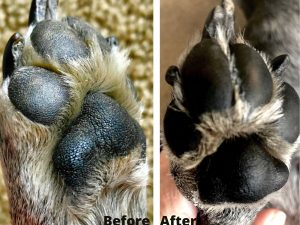 Image of dog's paws and nails cracked, dry and after using PawPurity Healing Paw Conditioner totally healthy.