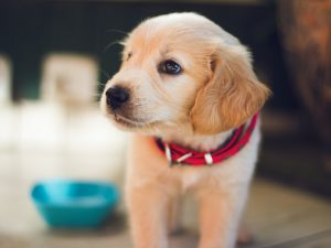 Cute puppy with beautiful eyes that uses PawPurity Tear Stain Remover Wipes for Dogs can also be used on puppies