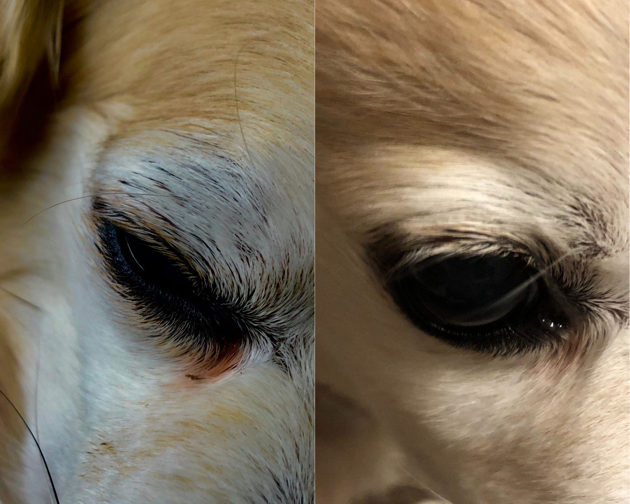 Before and after photo of a chihuahua that uses PawPurity Tear Stain Remover Powder. The owner uses the solution first, then applies the powder about once a week.