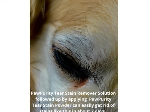 This dog has tear stains that PawPurity Tear Stain Remover Powder can get rid of in about 7 days.