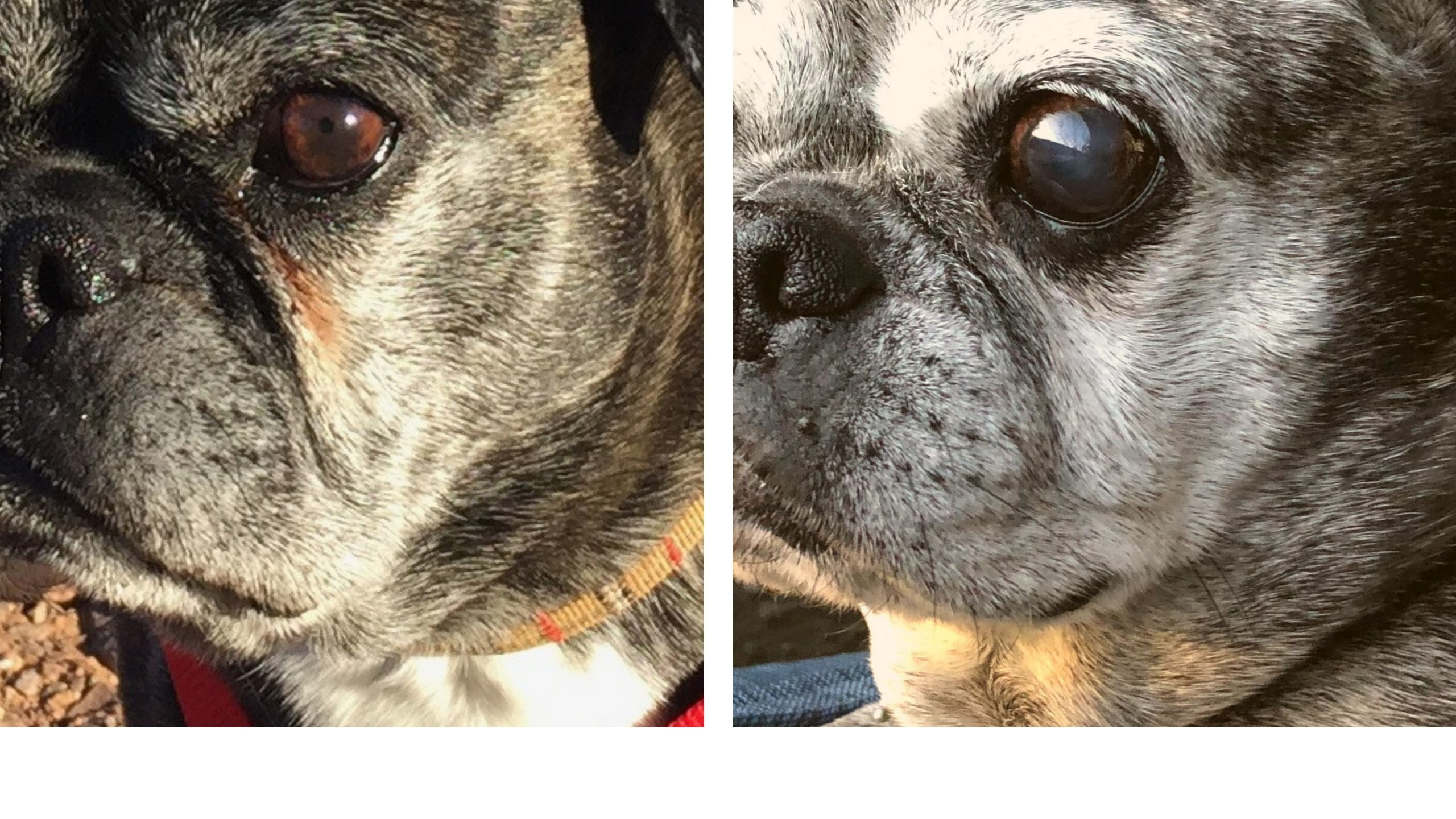 Before and after photos of dog that used PawPurity Tear Stain Remover Powder to get rid of tear stains and stains on face folds