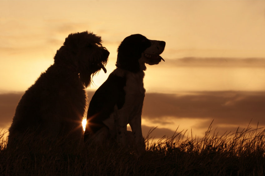 Image of two dogs in a field in article on PawPurity about pet products that are natural