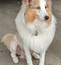 The Best Tear Stain Remover Wipes for Dogs - Used by Chewie the Sheltie