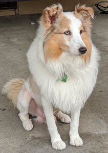 The Best Natural Flea and Tick Repellent - Used by Chewie the Sheltie