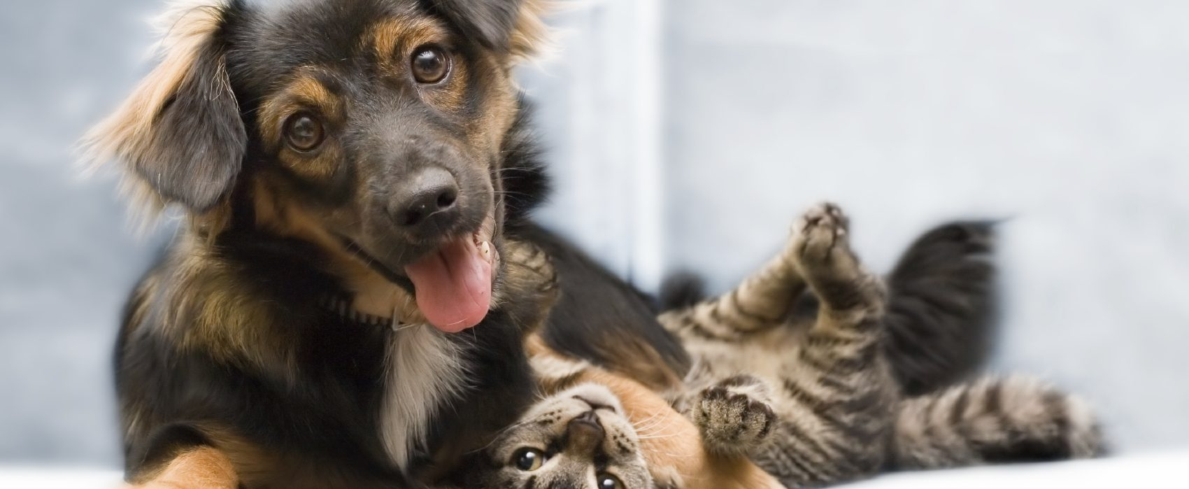 Dog and cat playin in a PawPurity blog about uni-pet natural pet care products