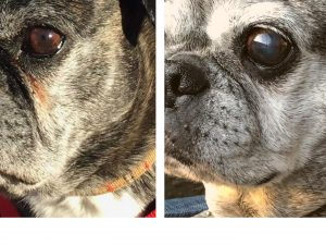 Before and after shot of dog with and without tear stains after using PawPurity Stain Remover Face Shampoo