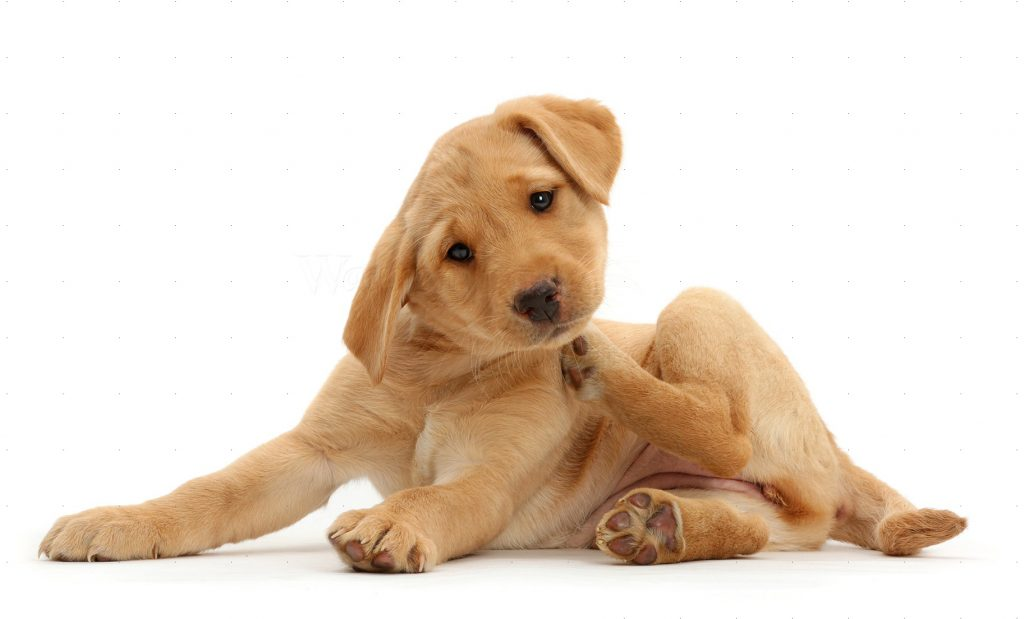 PawPurity Flea & Tick Shampoo eliminates itching by repelling fleas. Image shows a dog scratching