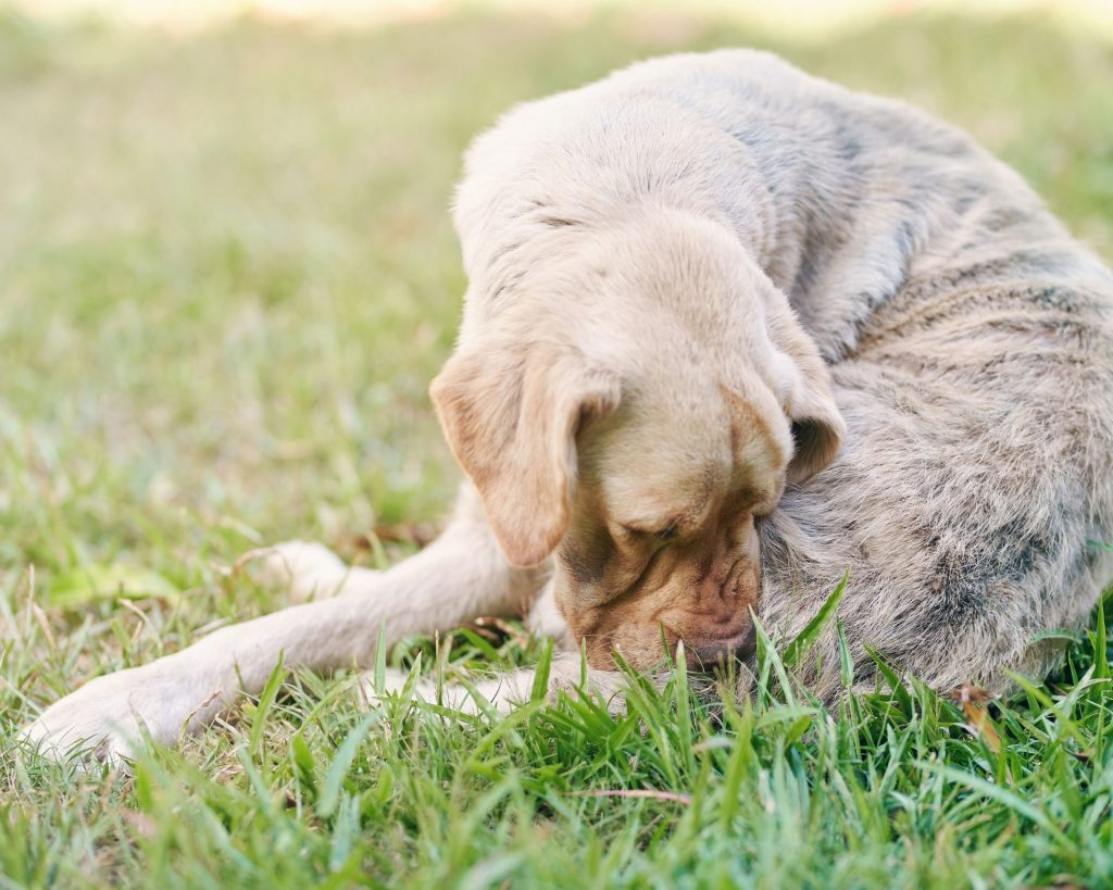 Flea protection is important to keep dogs comfortable and healthy. Flea infestations can cause serious skin issues and even death.