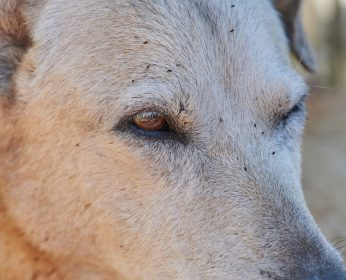 """Image of dog's face with a flea infestation for an article on PawPurity's website called """"What Fleas On Dogs Do to Jeopardize Dogs and Children that won't happen if the dog is treated with PawPurity Flea & Tick Spray"""