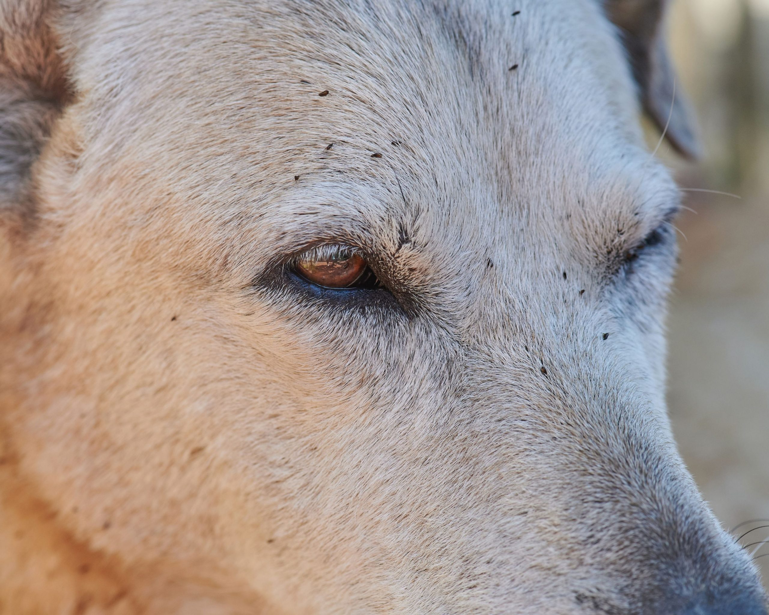 """Image of dog's face with a flea infestation for an article on PawPurity's website called """"What Fleas On Dogs Do to Jeopardize Dogs and Children"""""""